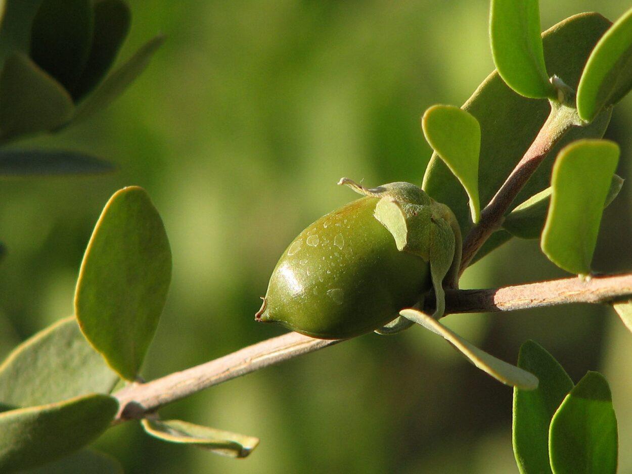 Simondsijų jojoba aliejus